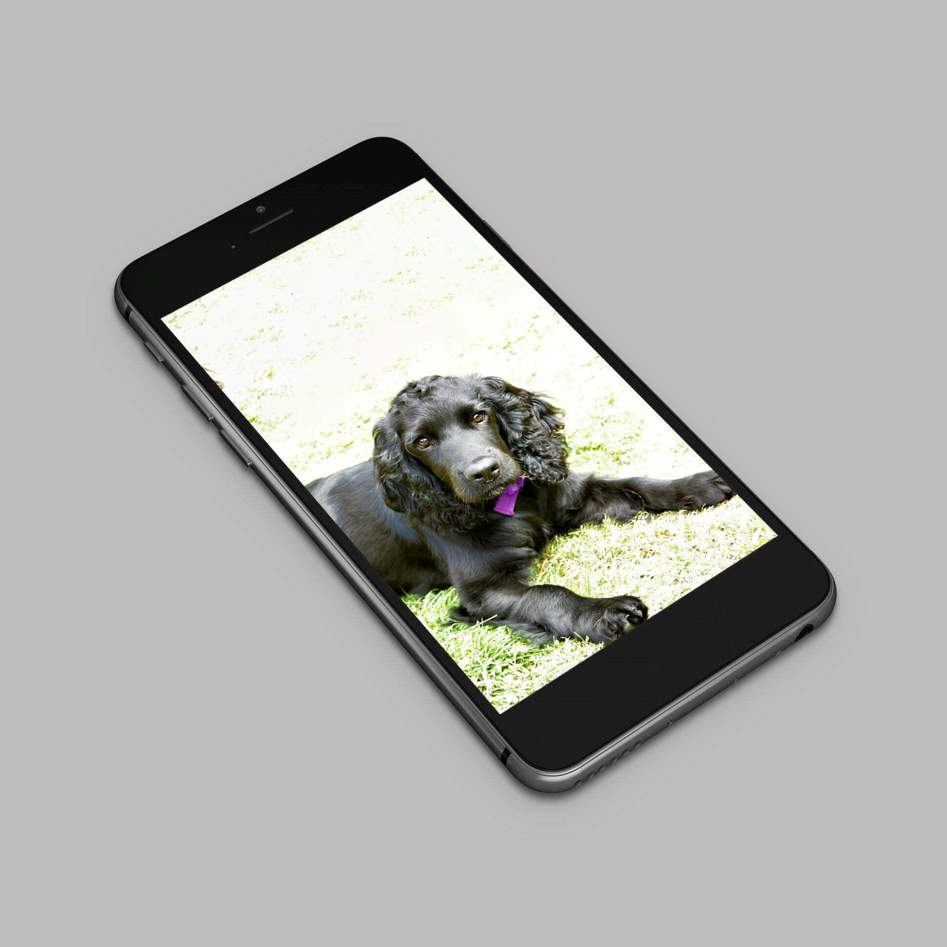 Cocker spaniel dog photo taken on mobile phone