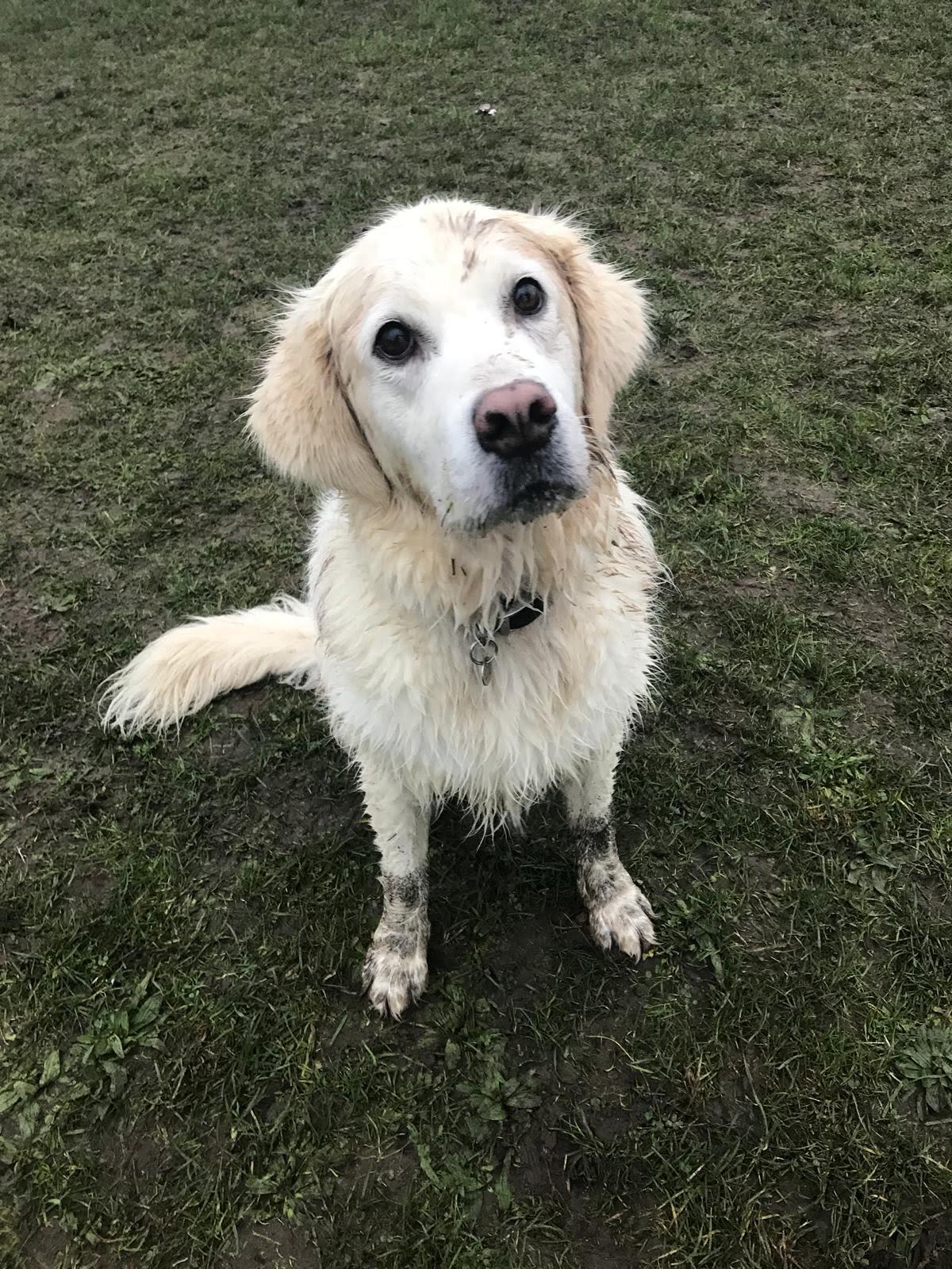 muddy golden retriever