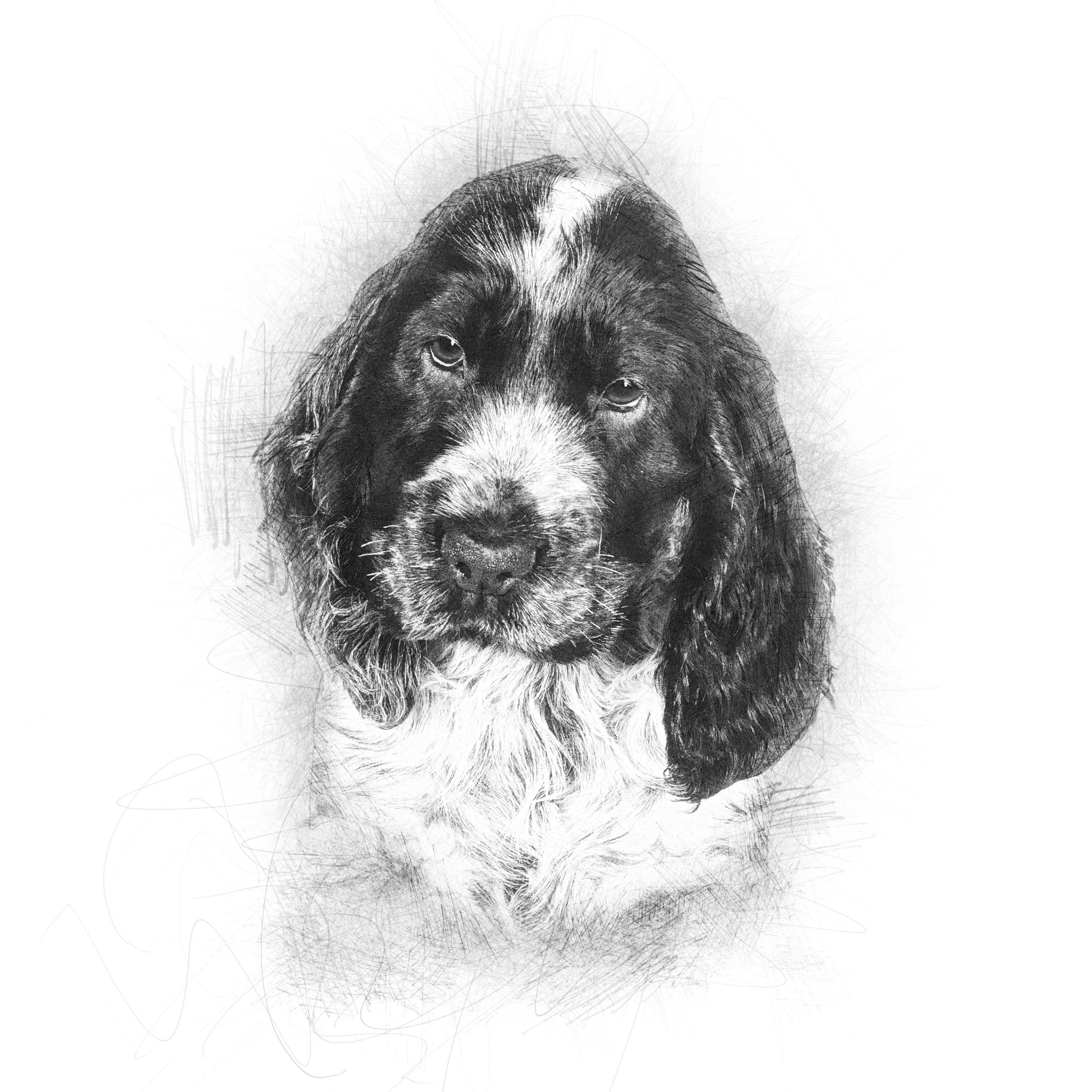 Cocker Spaniel sketch